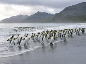King Penguins (Aptenodytes patagonicus) emerge from the water at St Andrew's Bay on the Island of South Georgia