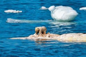 One of the polar bear cubs eats a whale.
