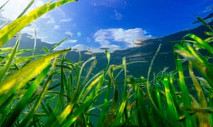 Seagrass in Porthdinllaen, Wales. The plant is a vital marine habitat for a variety of species and a powerful carbon sink.