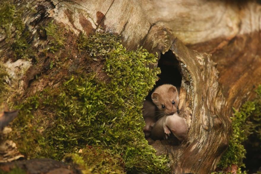 British summer season winner: Robert E Fuller, 'Common weasel', North Yorkshire, England. Photograph: Robert E Fuller/British Wildlife Photography Awards 2016