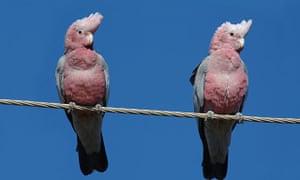 A pair of galahs