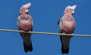 A pair of galahs in outback Queensland