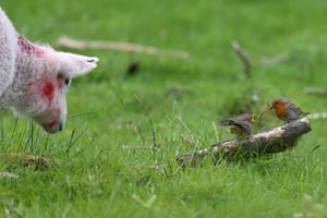 A robin feeds its young fledgling as a lamb wanders past in Dartmoor