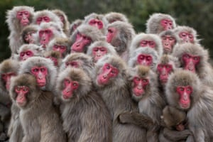 The More the Merrier: Terrestrial Wildlife FinalistMacaque monkeys huddle together on Shōdoshima Island, Japan, pooling body heat as temperatures drop.