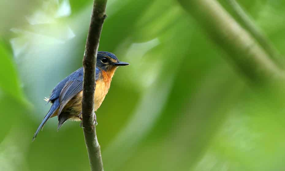A Togian jungle flycatcher, one of the new sub-species discovered during the six-week expedition.