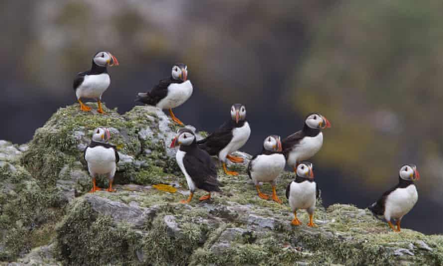 Puffins on Skomer island.