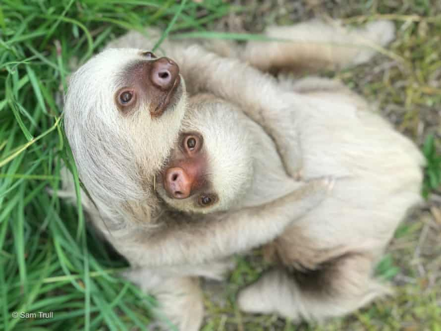 Sloths Amy and Aretha, currently in rehab at the Sloth Institute, Costa Rica.