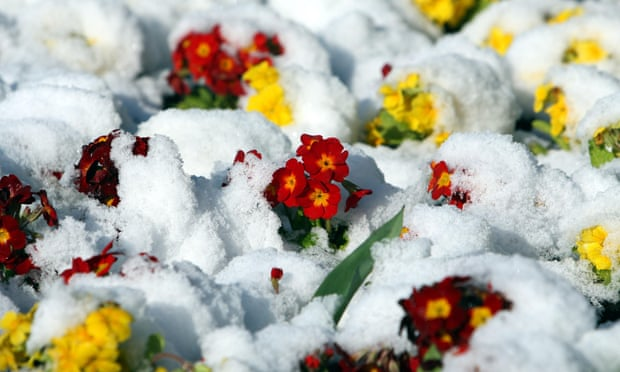 Snow-covered primroses