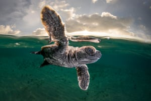 A Hawksbill turtle hatchling takes its first swim at Lissnenung Island Papua New Guinea.