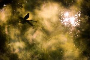 A blackbird in North Hesse