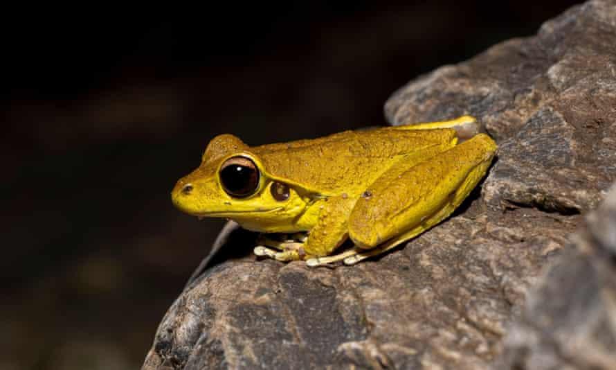 The stony creek frog