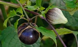 The Purple de Milpa tomatillo.