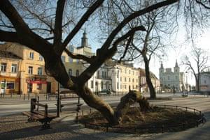 Ash-leaved maple (Acer Negundo L), Krasnystaw, Poland