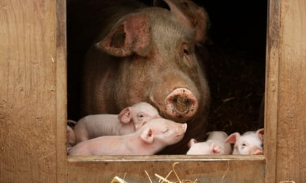 Sow and piglets on a farm