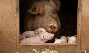 Pigs on Anna Longthorp's Yorkshire farm.