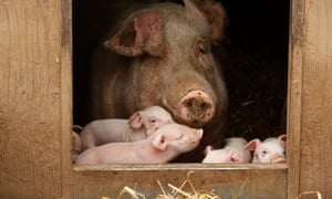 Pig with piglets on a free-range farm in the UK