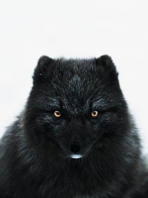 Fox Eyes (2017)  A blue morph Arctic fox, Thórsmörk, Iceland