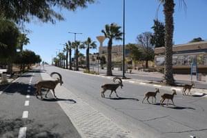 Nubian ibex crossing a road