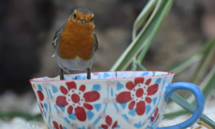 A robin on a tea cup. Single-use by Trevor Parsons for his Country Diary