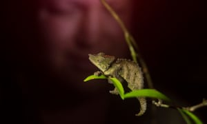A new species to science discovered on an earlier expedition led by Bayliss, the Mabu Pygmy Chameleon (Rhampholeon maspictus) is watched by herpetologist Phillip Jordaan deep the in the forest