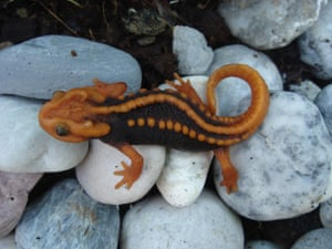A newt discovered in Thailand's Chiang Rai province, Tylototriton anguliceps, has stunning red and black markings that resemble a Klingon from the movie Star Trek. Its porous skin makes it especially sensitive to pesticides, the main threat alongside deforestation of its habitat.