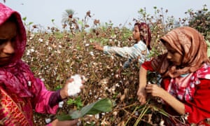 Cotton being harvested in Egypt