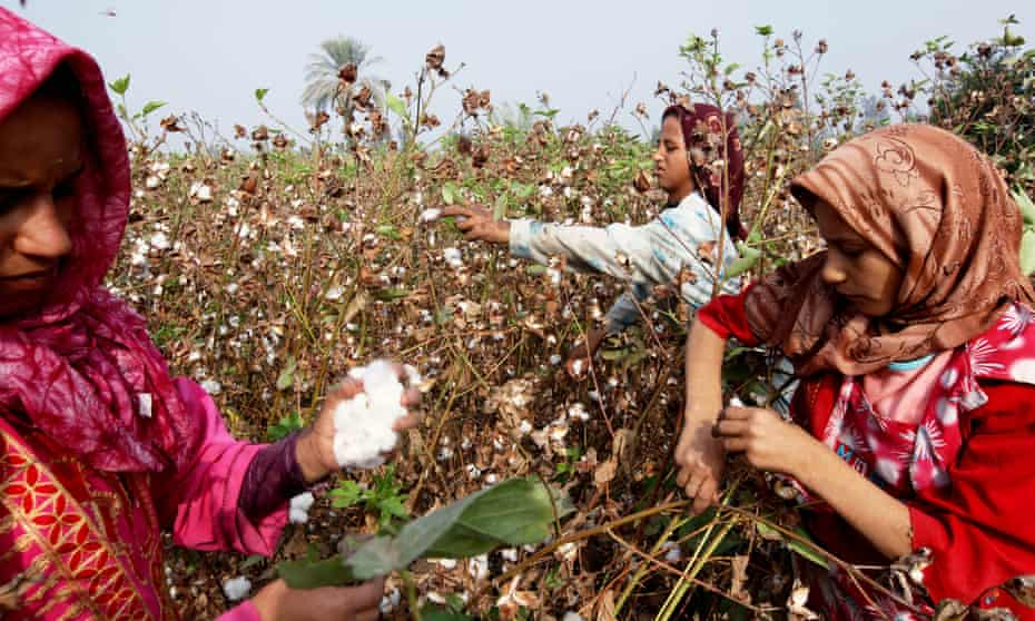 Agricultural employees harvest cotton in a field in Benha, Egypt. Welspun India, a giant home textile manufacturer, is in trouble for falsely advertising bedding products as containing Egyptian cotton.