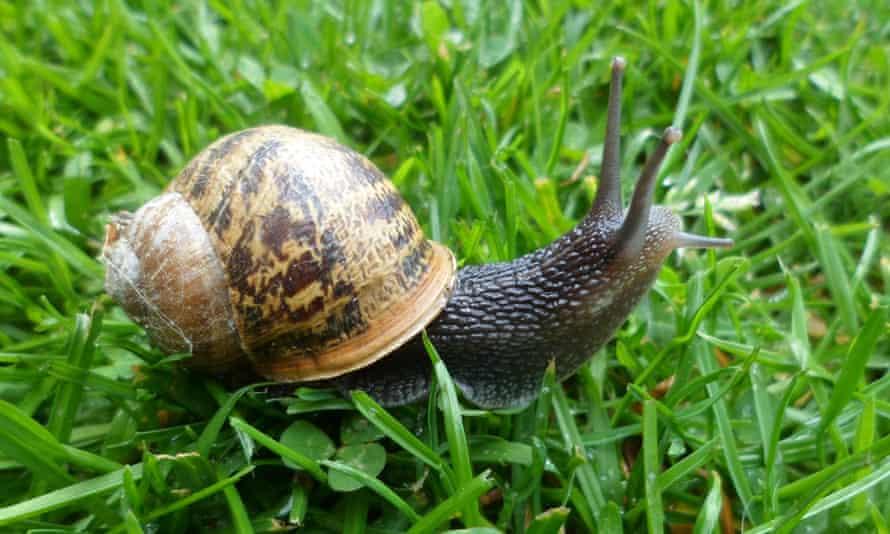 A common garden snail.