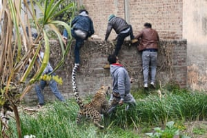 Jalandhar, India A leopard attacks a man as others climb a wall to get away from the animal in Lamba Pind area, after a leopard was spotted in a house. Subsequent attempts to capture it led to the animal attacking at least six people, though none was injured seriously, local media said
