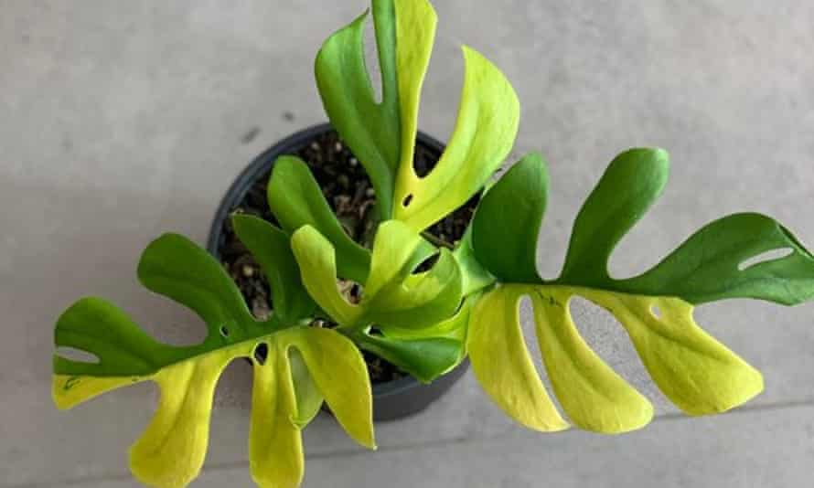 A variegated minima house plant which recently sold for NZ$8,150 in New Zealand