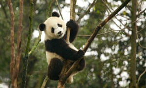 The giant panda has improved from endangered to vulnerable on the IUCN red list.