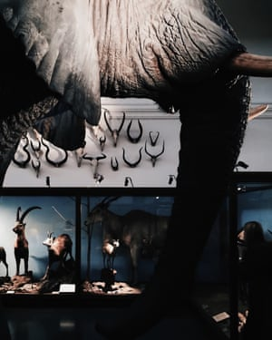 An elephant exhibit in the central hall of Gothenburg's Natural History Museum, Sweden.