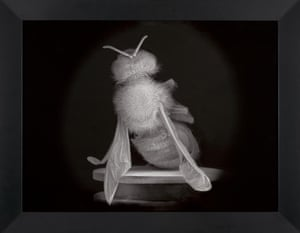 One of Anne Noble's Dead Bee Portraits – 'For a time when the bee no longer exists' (2015-2016).
