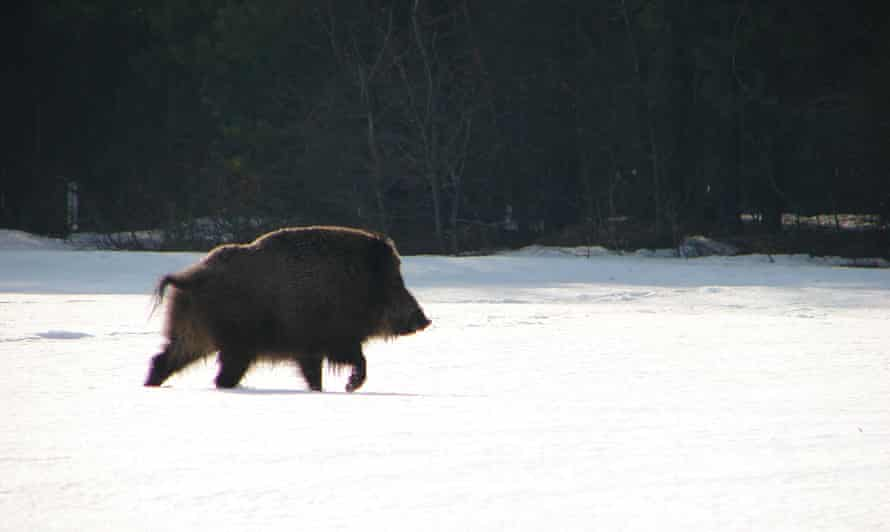 Wild boar in the snow in the Chernobyl exclusion zone.
