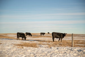 Cattle graze in a field in southern Todd County on the Rosebud Indian Reservation Monday, Jan. 7, 2019.