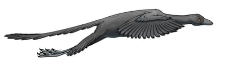 An illustration of how Archaeopteryx would have looked like as it flew like a pheasant.