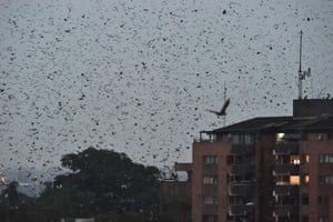 Bats flying over abuilding in the Abidjan CBD, Ivory Coast