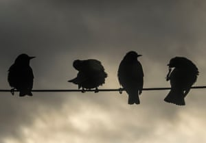 Starlings on a telegraph wire in Siabost in the Outer Hebrides, Scotland