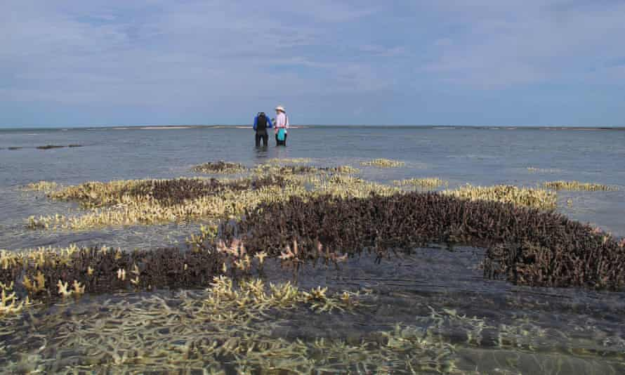 Dead coral in shallow waters at Cygnet Bay in Western Australia. The new evidence of harm to corals comes as the most widespread coral bleaching event in history is sweeping the world's oceans.