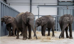 A photo from the social media site Weibo of the elephant calves imported from Zimbabwe into China in December 2016. Some are currently at the Hangzhou Safari Park.