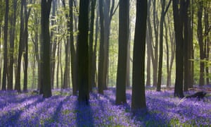 A carpet of bluebells surrounds beech trees in Prior's Wood, north Somerset.