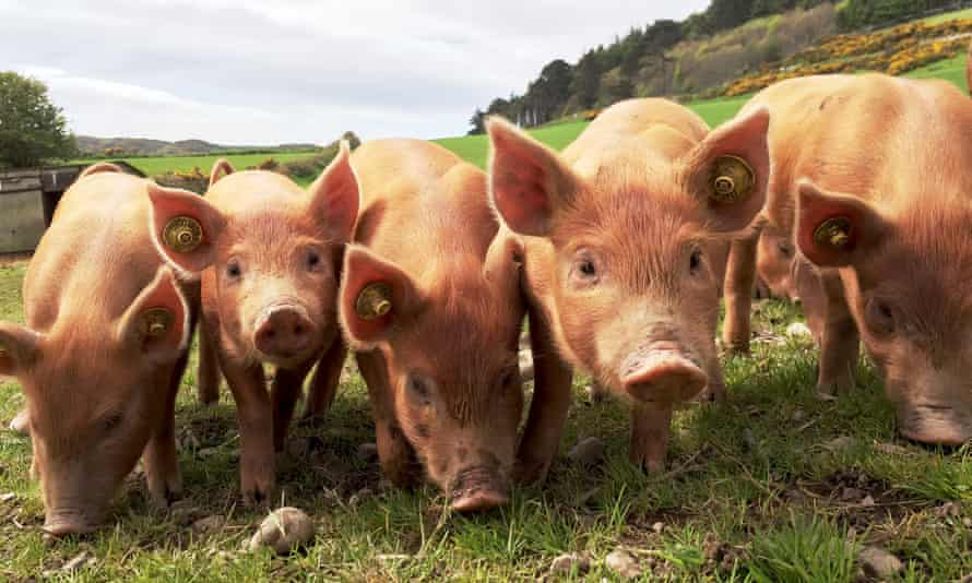 There are warnings that as many as 70,000 pigs are stranded on farms and some healthy animals may have to be culled