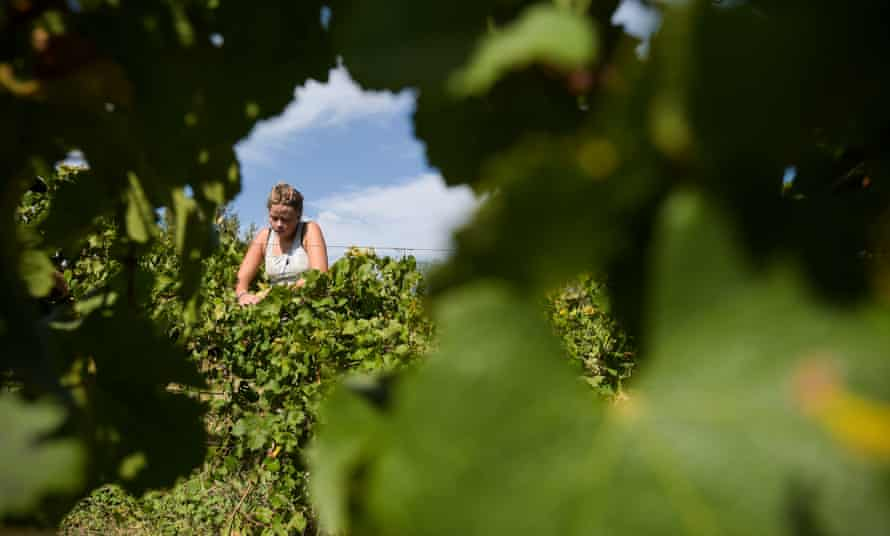 A seasonal worker picks Riesling grapes at Surveyor's Hill vineyard outside Canberra, Thursday, March 12, 2015. This years harvest is the earliest in over 40 years with experts attributing it partly to climate change. Scientists predicted earlier grape harvests several years ago when a team from the CSIRO and the University of Melbourne found that vintages were moving forward by 0.8 of a day each year. (AAP Image/Lukas Coch) NO ARCHIVING