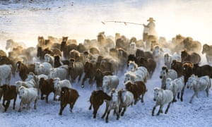A herdsman drives horses on snow-covered grassland in Hexigten banner of Chifeng city in Inner Mongolia