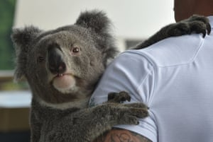 Chad Staples from the Featherdale Wildlife Sanctuary holds a four-year-old koala named Archer in Sydney, Australia. The iconic koala, its very existence imperilled by disease, bushfires, car strikes, and dog attacks, faces a more hopeful future thanks to scientists cracking its genetic code, a recent study said