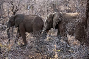 Tusked elephants roam through trees and low bush at the Pilanesberg national park in the North West province, South Africa. Elephants in east Africa have learned to travel at night to avoid poachers.