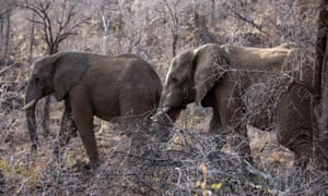 An estimated 350,000 elephants are left in Africa