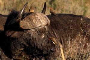 Birds sit on a buffalo at Nairobi national park, Kenya.