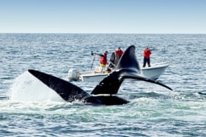 North Atlantic Right Whales, off Grand Manan Island, Bay of Fundy, New Brunswick, Canada.