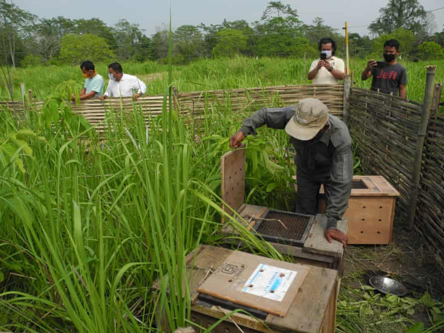 Pygmy hog transport crates placed in the release site at Manas.